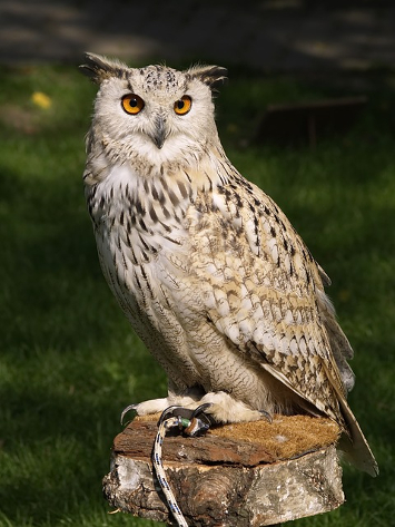 image-pixabay-eagle-owl-377192_640